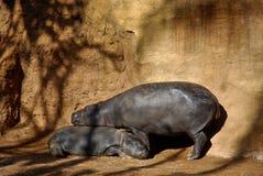 hipopotamy matkują syna Fotografia Royalty Free