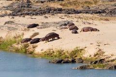 Hipopotamy na banku Zdjęcie Royalty Free