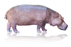 Hipopotamy odizolowywający na bielu Obraz Royalty Free