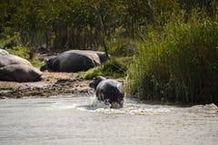 Hipopotamy przy Isimangaliso bagna parkiem, Południowa Afryka Zdjęcia Stock