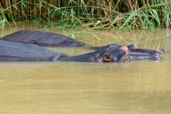 Hipopotamy przy Isimangaliso bagna parkiem, St Lucia, Południowa Afryka Obraz Stock