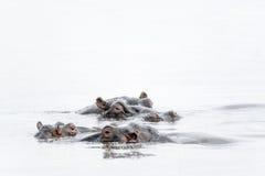 Hipopotamy w mgle Naivasha jezioro Zdjęcia Royalty Free