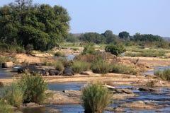 Hipopotamy w Sabie rzece, Kruger park narodowy, Południowa Afryka Zdjęcia Stock