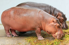 Hipopótamo Fotografia de Stock Royalty Free