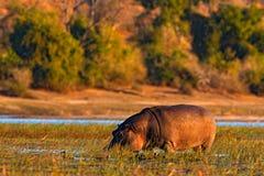 Hipopótamo africano, capensis do amphibius do hipopótamo, com sol da noite, animal no habitat da água da natureza, rio de Chobe,  Imagens de Stock