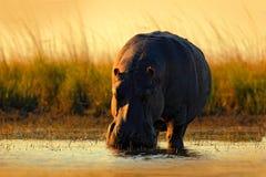 Hipopótamo africano, capensis do amphibius do hipopótamo, com sol da noite, animal no habitat da água da natureza, rio de Chobe,  Fotos de Stock Royalty Free