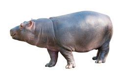 Hipopótamo del bebé Imagen de archivo libre de regalías