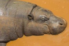 Hipopótamo enano que duerme en agua Imagen de archivo libre de regalías
