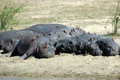 Hipopótamos con oxpeckers redbilled Foto de archivo