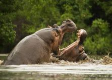 Hipopótamos que luchan Imagen de archivo libre de regalías