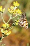 Hippachia semele. Brown butterfly at a yellow peduncle (Hippachia semele royalty free stock photo
