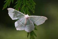 Hipparchus valida(Felder). Hipparchus valida (Geometrid moth)on a leaf Stock Photos