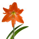 Hippeastrum Royalty Free Stock Image