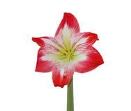Hippeastrum photographie stock