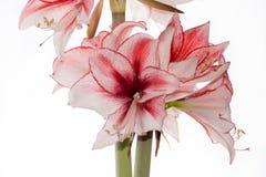 Hippeastrum Amaryllis Charisma, Dutch hybride, white-pink flower Royalty Free Stock Images