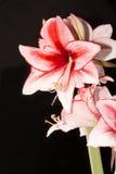 Hippeastrum Amaryllis Charisma, hybride holandês, flor branco-cor-de-rosa fotos de stock