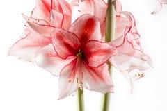 Hippeastrum Amaryllis Charisma, hybride holandês, flor branco-cor-de-rosa fotos de stock royalty free