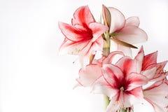 Hippeastrum Amaryllis Charisma, hybride holandês, flor branco-cor-de-rosa fotografia de stock royalty free