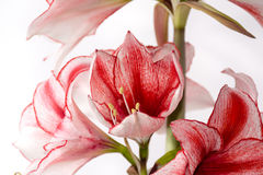 Hippeastrum Amaryllis Charisma, Nederlandse hybride, wit-roze bloem stock foto's