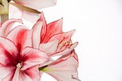 Hippeastrum Amaryllis Charisma, Nederlandse hybride, wit-roze bloem royalty-vrije stock afbeeldingen