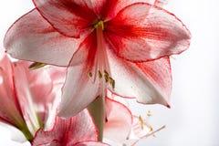 Hippeastrum Amaryllis Charisma, Nederlandse hybride, wit-roze bloem stock afbeelding