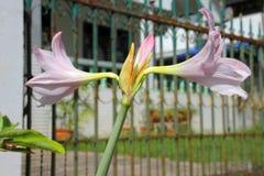 Hippeastrum or Amaryllis flowers. Pink flowers Hippeastrum or Amaryllis in nature home garden, fresh herb Amaryllidaceae blossom flowers royalty free stock photos