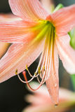 Hippeastrum Amaryllis Hippeastrum Amaryllis stora apelsinblommor Arkivbild