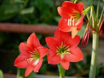 Hippeastrum Amaryllis red flowers on a defocus background stock image