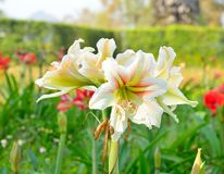 Hippeastrum Amaryllis vita blommor Royaltyfria Bilder