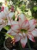Hippeastrum aphrodite Royalty Free Stock Image