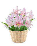 Hippeastrum in Bamboo. Pot on white background Royalty Free Stock Photography
