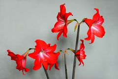 Hippeastrum - bei fiori del fiore rosso di Amaryllis Fotografia Stock