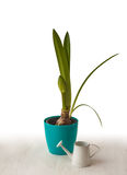 Hippeastrum in a blue pot  and decorative watering can Stock Image