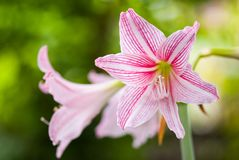 Hippeastrum Royalty Free Stock Images