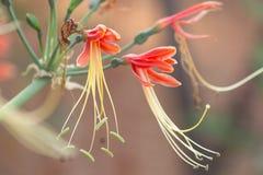 Hippeastrum cybister杂种开花在花园里 库存照片