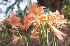 Hippeastrum cybister hybrid in garden Royalty Free Stock Image