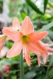 Hippeastrum dei fiori Immagini Stock Libere da Diritti