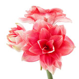 Hippeastrum Double Dream Stock Photo