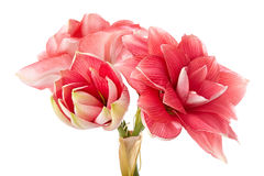Hippeastrum Double Dream Stock Photography