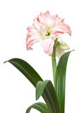 Hippeastrum Double Record Royalty Free Stock Images