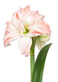 Hippeastrum 'Double Record' Royalty Free Stock Images