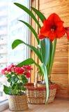 Hippeastrum en begonia Stock Foto's