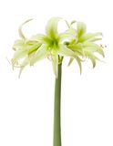 Hippeastrum Evergreen Royalty Free Stock Images