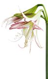 Hippeastrum exotic Emerald Royalty Free Stock Image