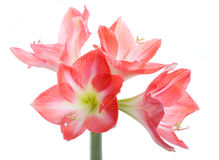 Hippeastrum flower bulbs flowers Royalty Free Stock Image
