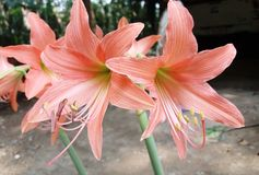 Hippeastrum flower from Thailand Royalty Free Stock Photography