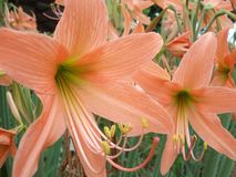 Hippeastrum flower tree background Stock Image