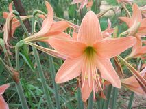 Hippeastrum flower tree Royalty Free Stock Photography