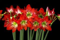 Hippeastrum flowers. Stock Image