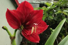 Hippeastrum flowers are red stock photography